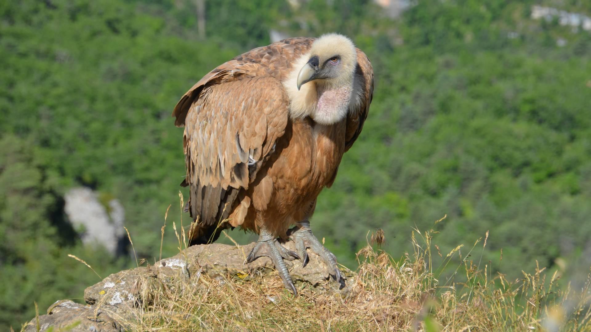 vautour fauve gorges du tarn
